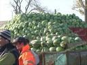 Producătorii de varză de la Lunguleţu dezamăgiţi de vânzări şi producţie